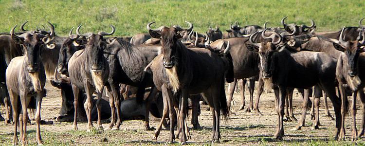 La Gran Migración - Safari Kuhama
