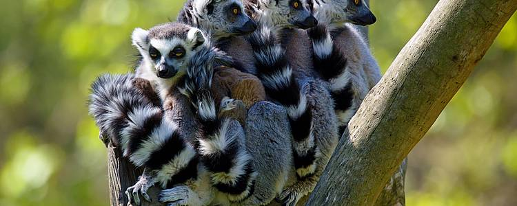 Baobab und Lemurensafari