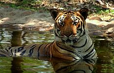 De Calcutta au Sikkim : tigres, thé et sommet majestueux !