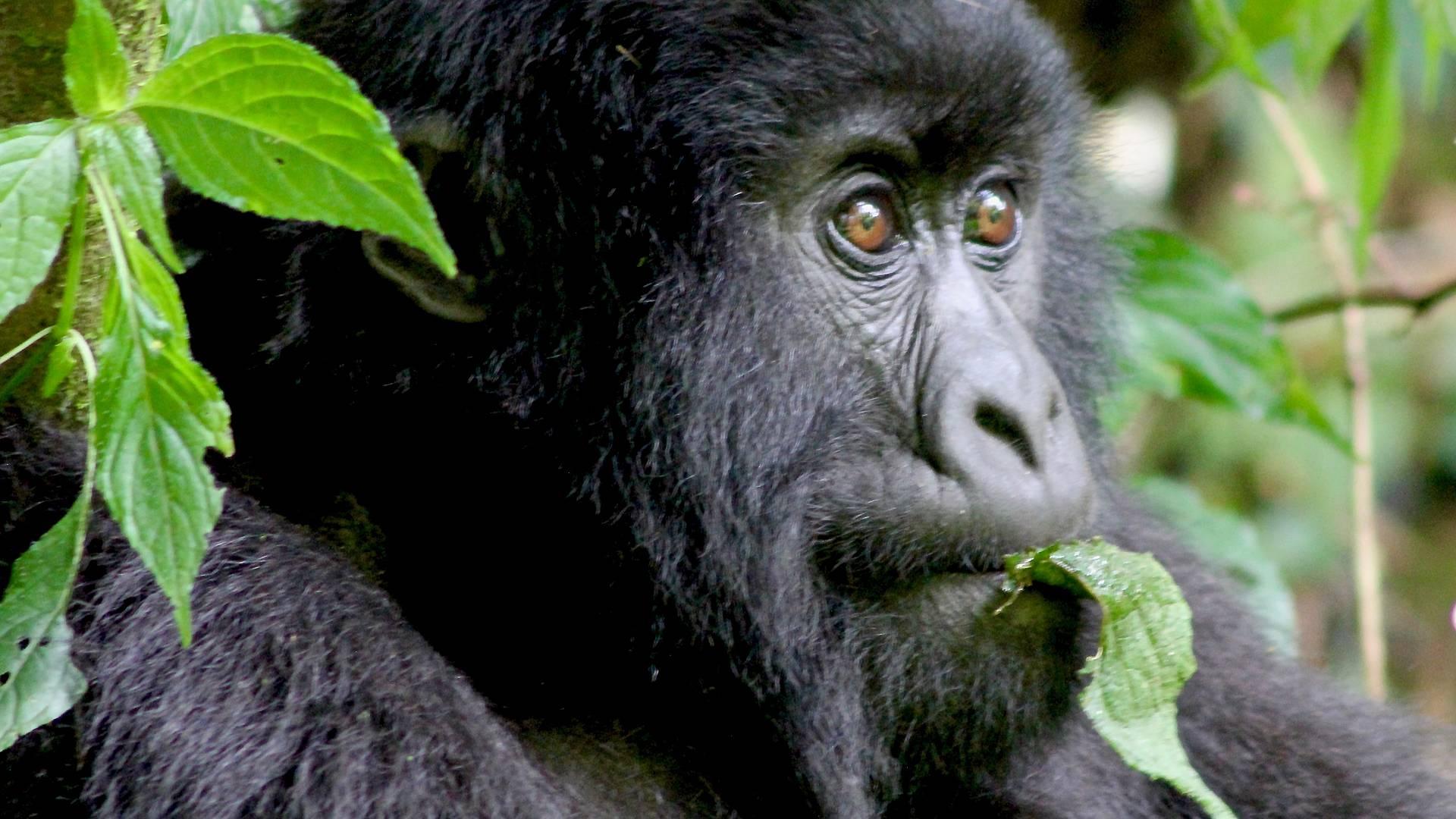 Hautnah bei den Gorillas
