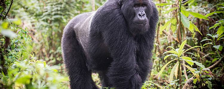 Eine Reise durchs Land der Berg Gorillas