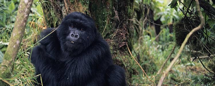 Primaten, Gorillas und der Kivu
