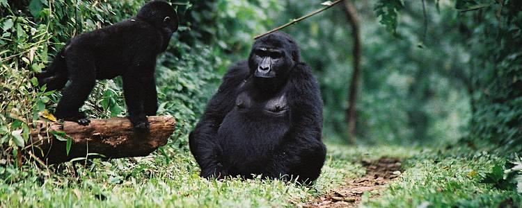 Primates et safaris