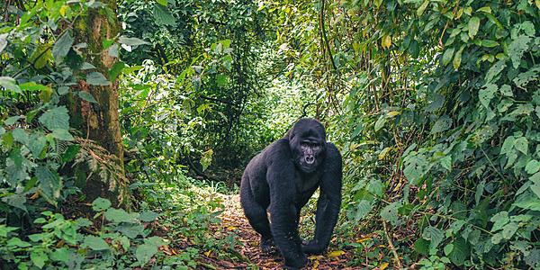 Gorille des montagnes dans la Forêt Impénétrable de Bwindi