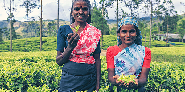 Ouvrières dans les plantations de thé