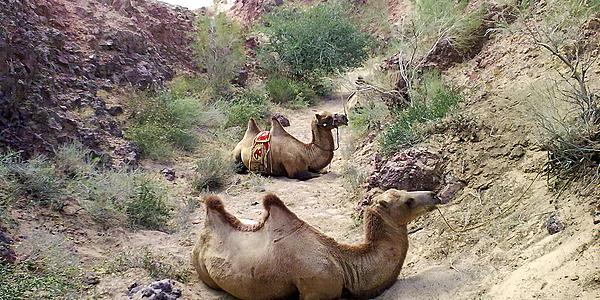 Les chameaux emblématiques du désert de Gobi @flickr cc Michael Eisenriegler