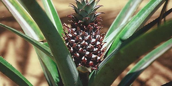 Ananas au Cap Masola @Servane Rigault
