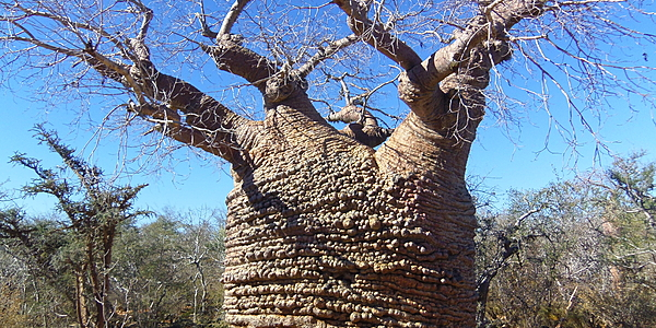 Baobab grand-mère @HoffmannSimon