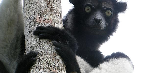 Indri indri @Frank Vassen
