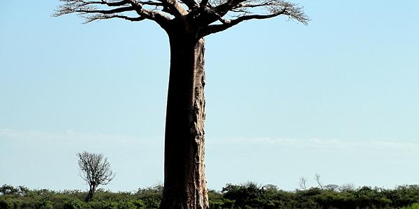 Un géant de Madagascar @Hoffmann Simon