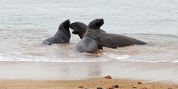 Des lions de mer