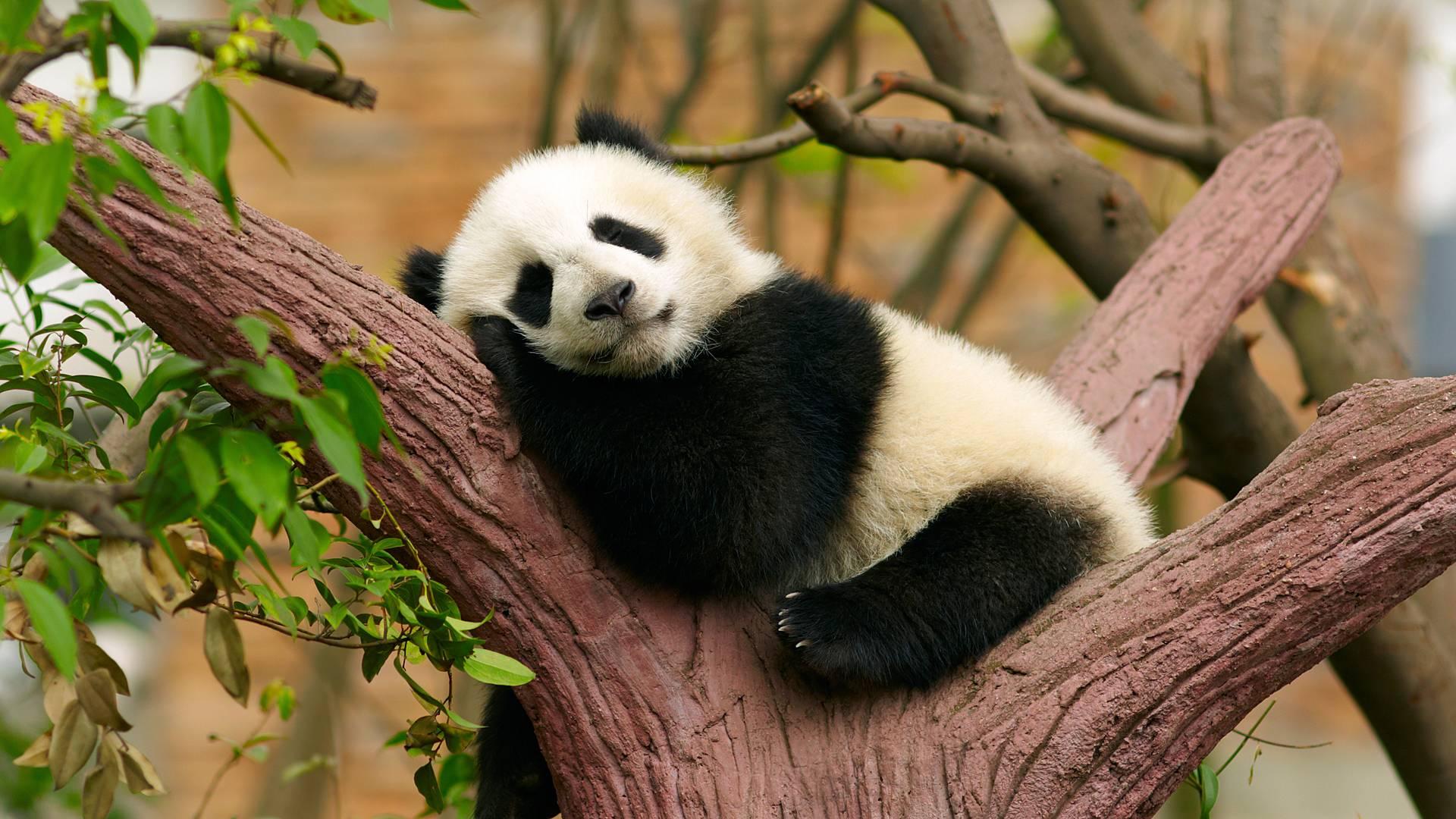 Expérience unique avec les pandas en famille