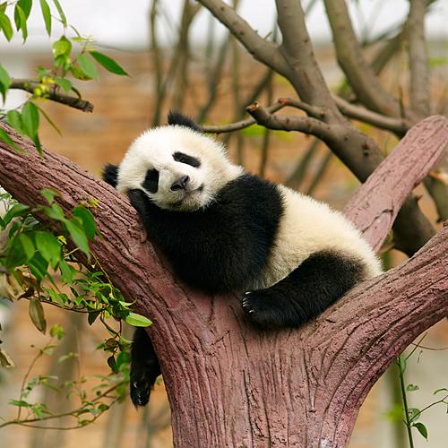 Expérience unique avec les pandas en famille - Pékin -