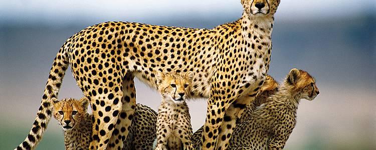 Auf der Suche nach dem Asiatischen Gepard