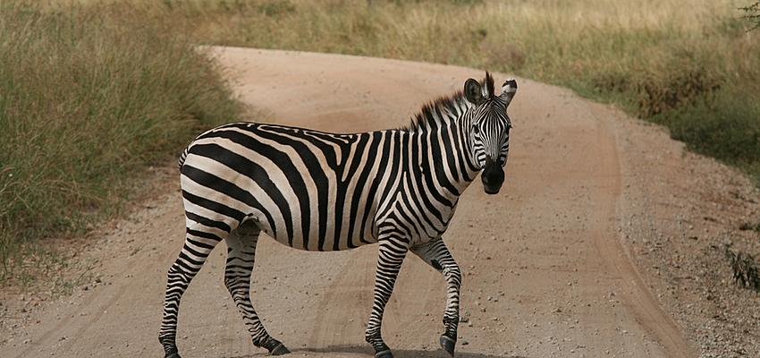 Zèbre Tanzanie