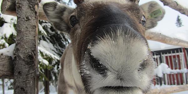 Un reno en Laponia