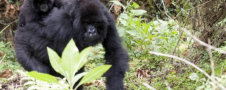 Gorillas und Kivusee - Luxusreise