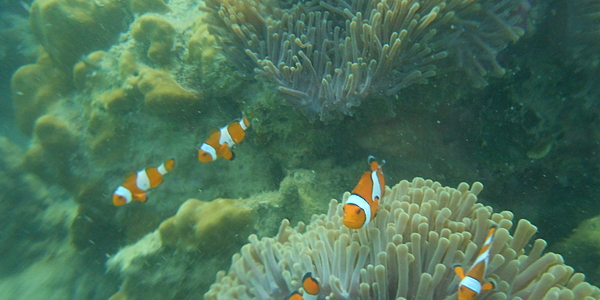 Clownfish at Ko Kradan