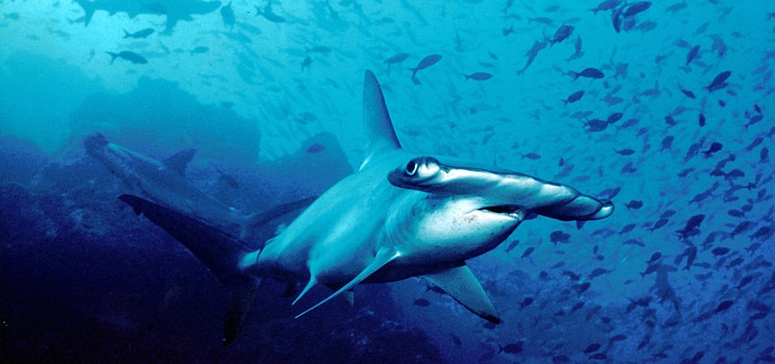 Hammerhead shark, Cocos Island National Park (UNESCO)