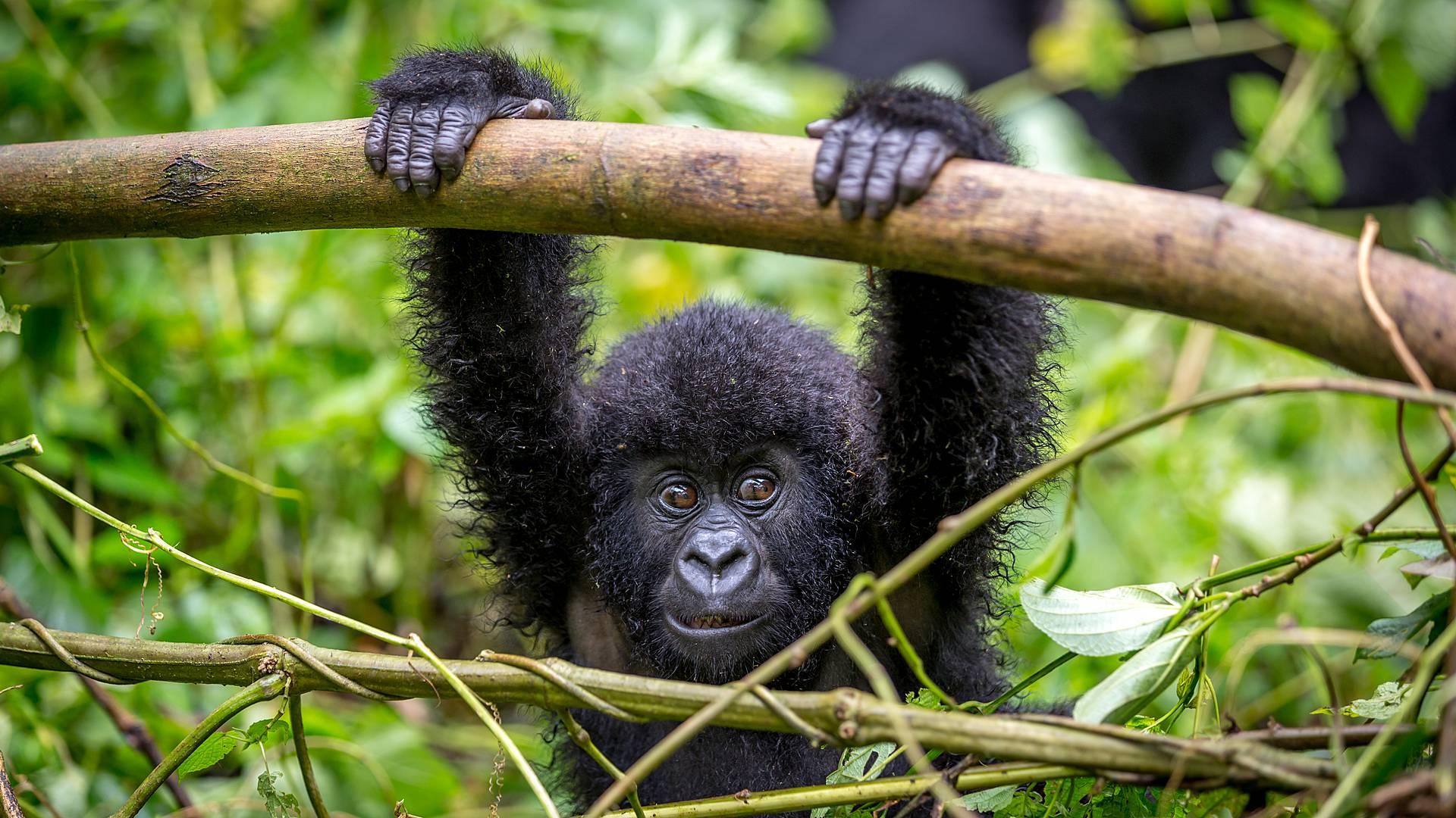 Gruppenreise in die Heimat der Gorillas