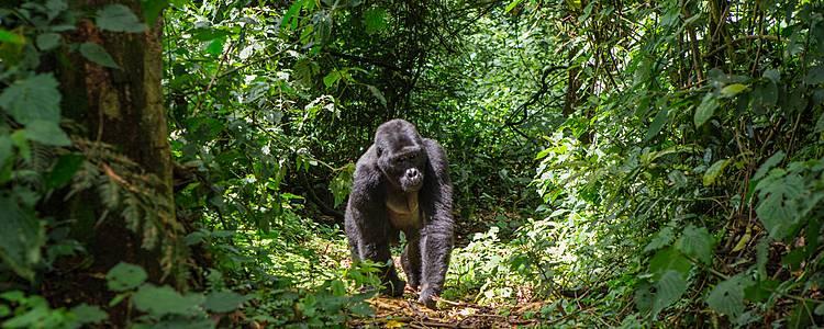 Begegnungen mit den Berggorillas