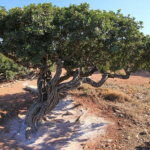 Chios, l'île aux douces senteurs - Athènes -