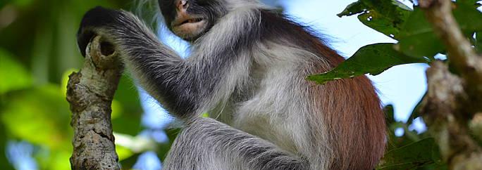 Circuito Zanzibar : Qué ver en forêt de jozani viaje y circuitos evaneos