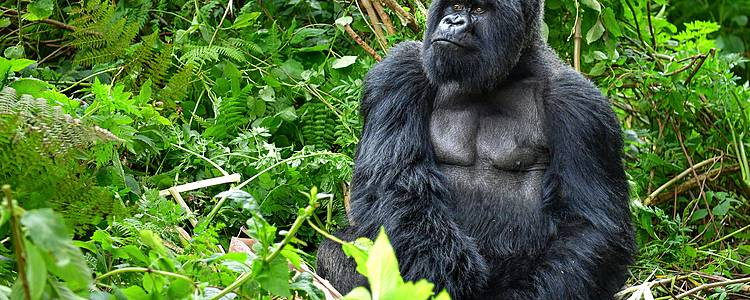 Ruta completa: Primates y Gorilas + Lago Kivu
