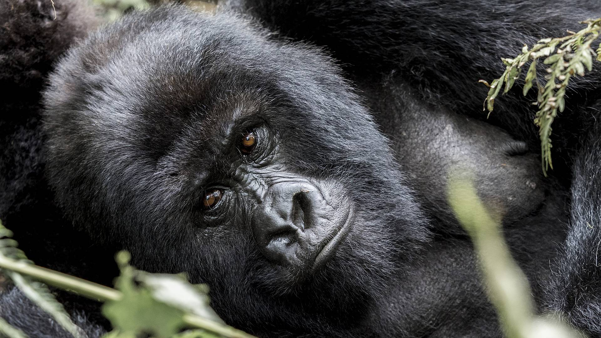 Berggorillas und die wilde Savanne !