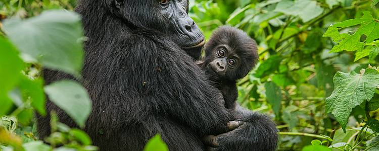 Savannah And Gorillas