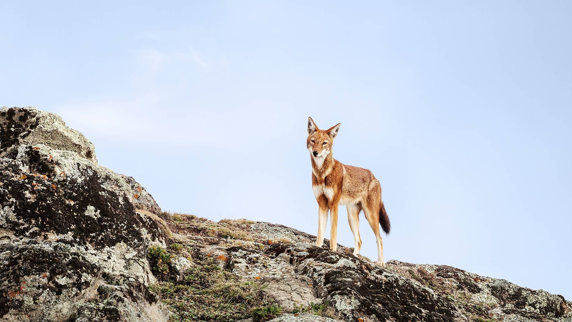 Wandern unter Wölfen - Trekking im Bale Nationalpark