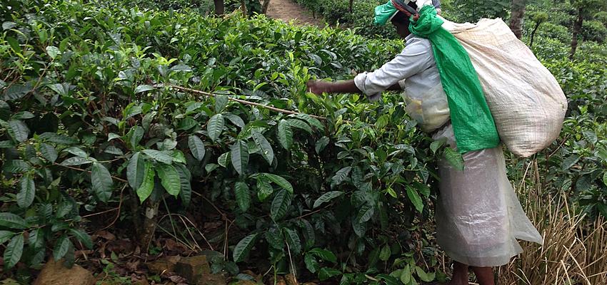 Agricultora de té en Ceilán