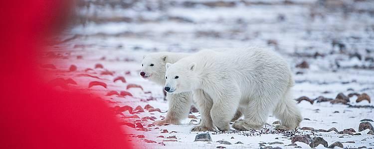 Die große Eisbärenwanderung