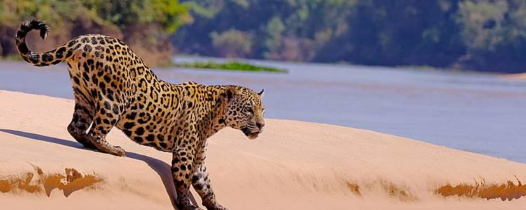 Sulle tracce del giaguaro