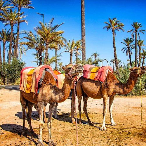 Sur la piste des dromadaires en famille - Marrakech -