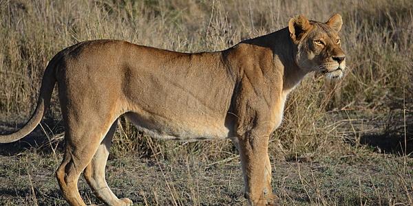 Une lionne dans le Serengeti