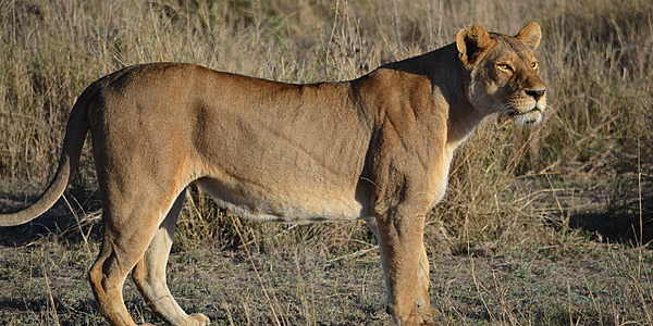 Una leonessa nel Serengeti