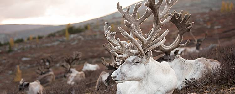 A Journey to Reindeer and Duka Culture