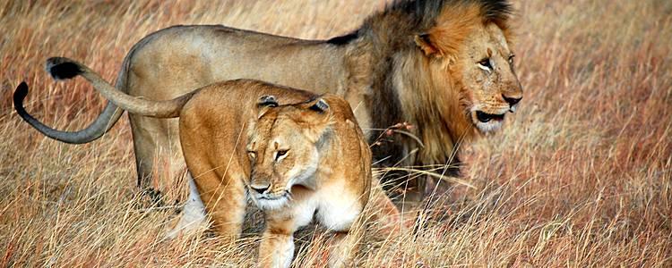 Große Tierwanderung in der Masai Mara für den kleinen Geldbeutel