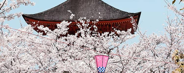 A contre-courant : floraison des cerisiers en février à Kawazu