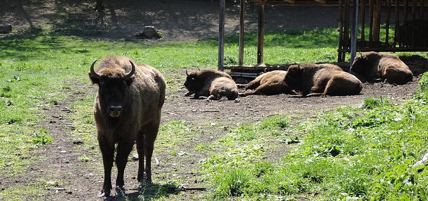 Une réserve de bizons