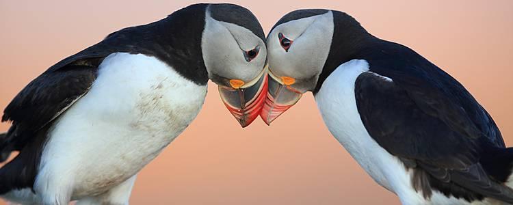 Papegaaiduikers op de Westmaneilanden
