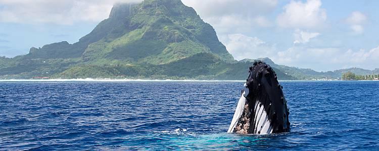 Des baleines à bosse au jardin de corail, splendeurs de la vie marine