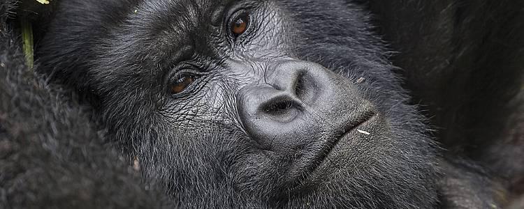 Opzoek naar chimpansees en gorilla's in Oeganda!