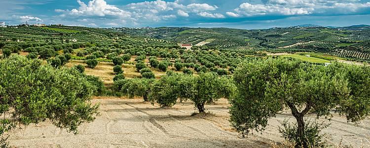 De Olijfboomgaarden en een Homestay