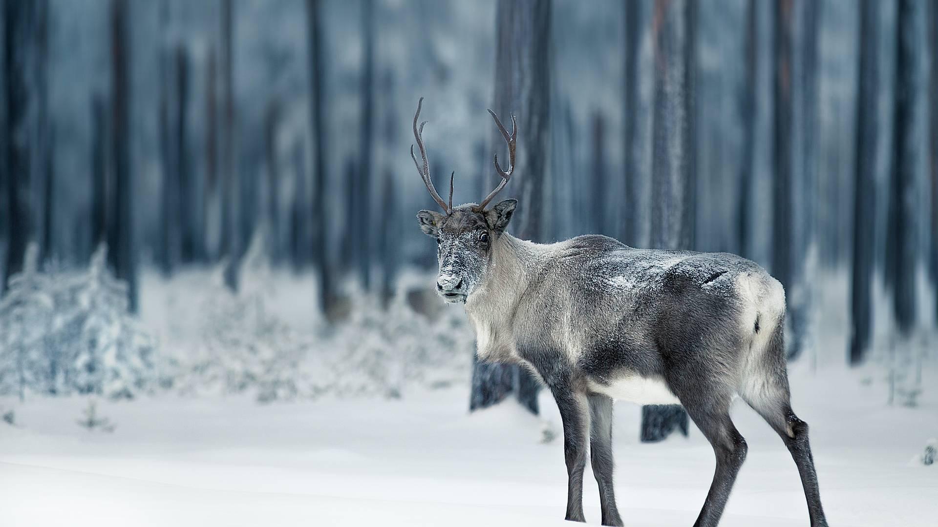 Un hiver en Laponie suédoise