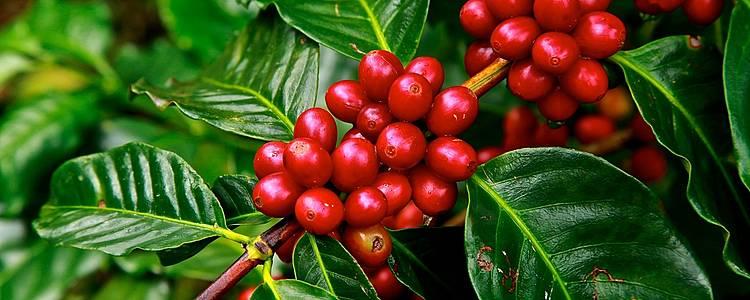 La route du café et du cacao