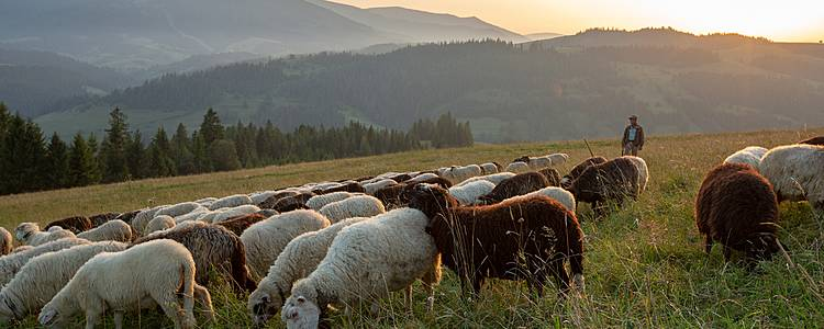Découvrir la vie de berger : immersion pastorale dans les Pyrénées