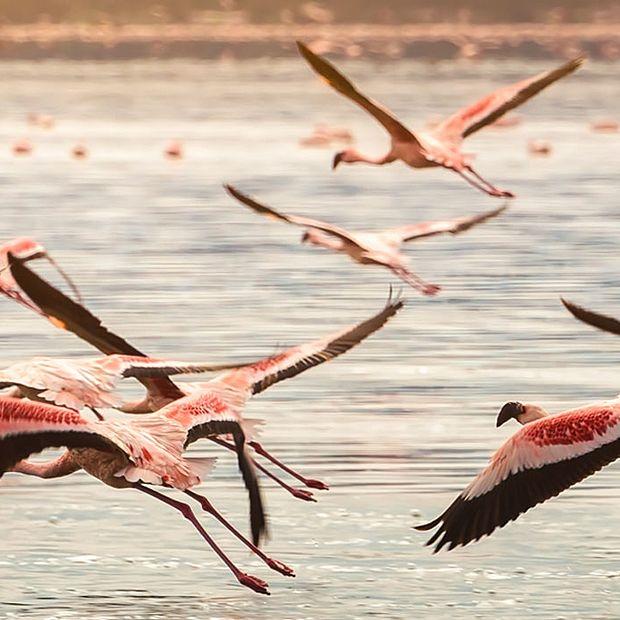 Fenicotteri rosa al lago Oloiden, Kenya