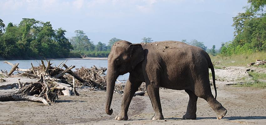 Un elefante en el Tarai